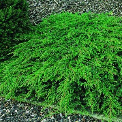 Juniperus com.'Green Carpet'