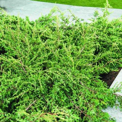 Juniperus com.'Repanda'