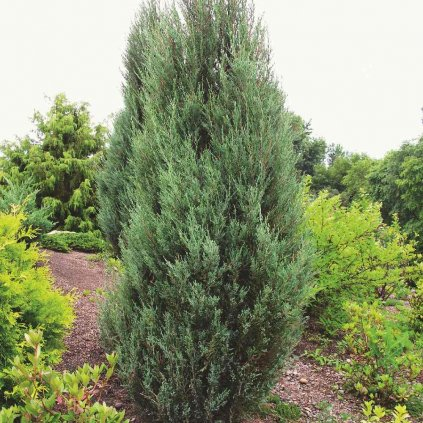 Juniperus scopulorum 'Blue Arrow'