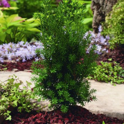Taxus media 'Hillii'