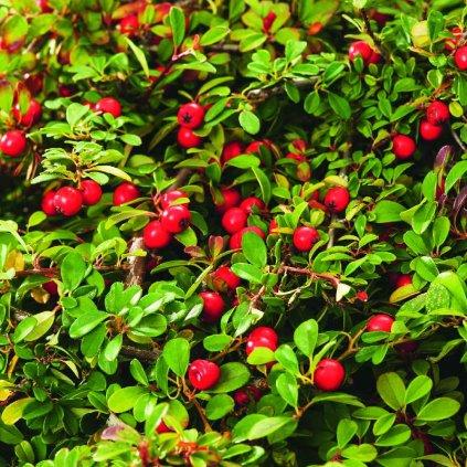 Cotoneaster dammeri 'Eichholz'