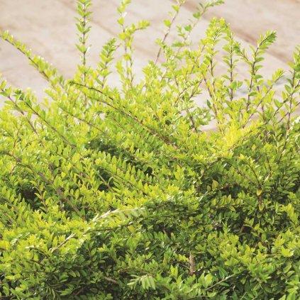 Lonicera nitida 'Moss Green'