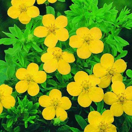 Potentilla gelb