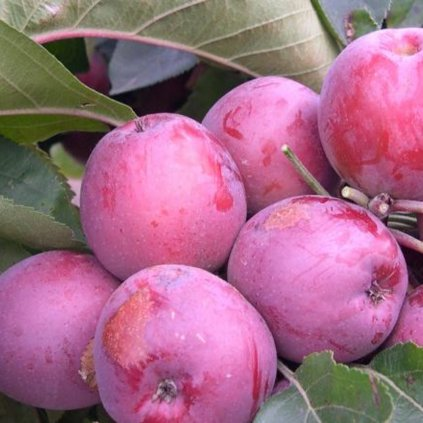 Stlpovita jablon Maypole