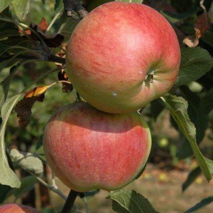 Stlpovita jablon Polka