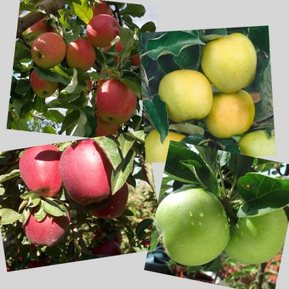 Zvyhodneny set Pinova+Golden Delicious+Red Delicious+Granny Smith