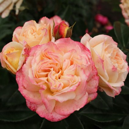 Ruža Concorde