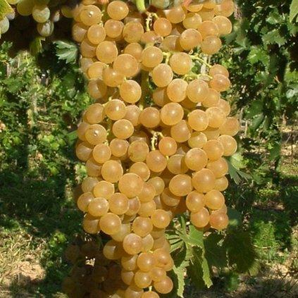 Vinic Muskat poloskei