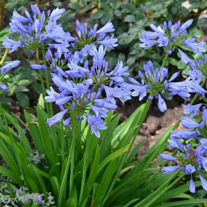 Kalokvet Pitchoune® blue scrarey