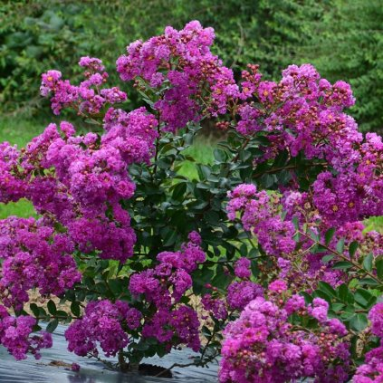 Myrta LAGERSTROEMIA indica 'Indya charms® violet dete® indyvio'
