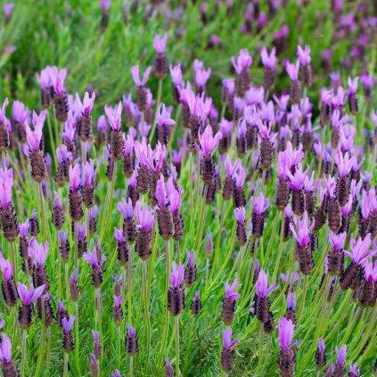 LAVANDULA stoechas 'The princess ® lavender'