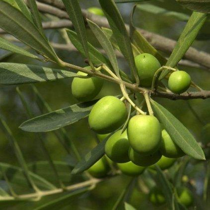 Olivovnik europsky