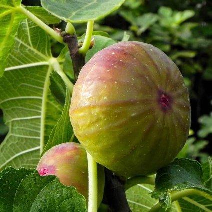 Figovnik Gelb Fruit