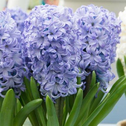 Hyacinth General