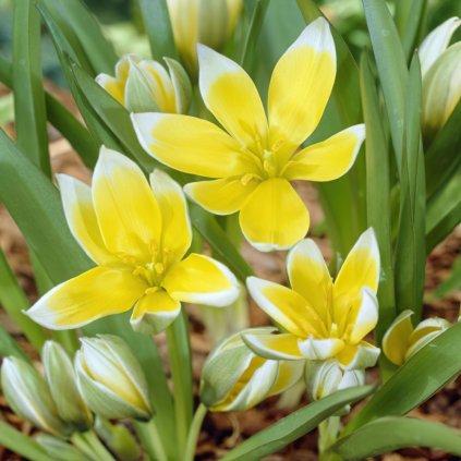 tarda specie tulip bulbs