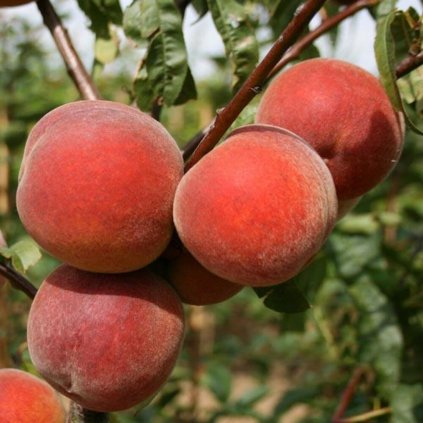 Peach Peregrine 4f9500c8 b8e6 4147 820e 9f41dad357a1