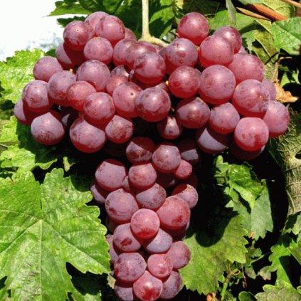 Vinic Chrupka cervena