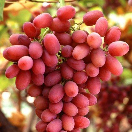 Vinic Crimson Seedless
