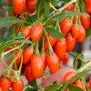 Goji Sweet Lifeberry