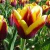 Cibuloviny Tulipan Gavota