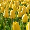 Cibuloviny Tulipan Golden Parade