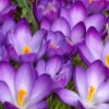 Cibuloviny Crocus Ruby Giant