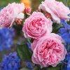Ruža Marie Henriette