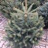 Smrek - Picea Galuca 125-150cm