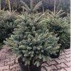 Smrek - Picea Galuca 80-100cm