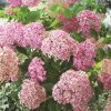 Hydrangea arb. Pink Annabelle®