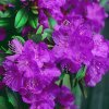Rhododendron carolinianum 'P.J.Mezitt'