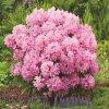 Rhododendron pont. 'Graziella'