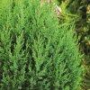 Juniperus chin.'Stricta'