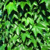 Parthenocissus tric.'Green Spring'