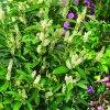 Prunus lauroc. 'Novitas'