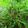 Cotoneaster dammeri 'Coral Beauty'