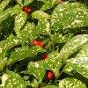 Aukuba japonica 'Crotonifolia'