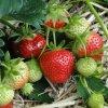 Darselect frigo jahody