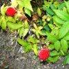 Malinojahoda Rubus Illecebrosus