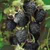 Malina Black Jewel