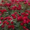 Ruza Bodendecker Rosen Red