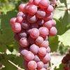 Vinic Tereza
