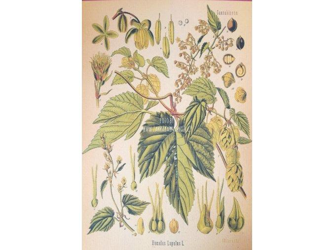 Botanický list chmel I
