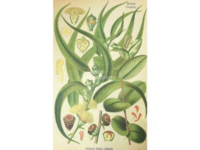 Botanický list eucalyptus