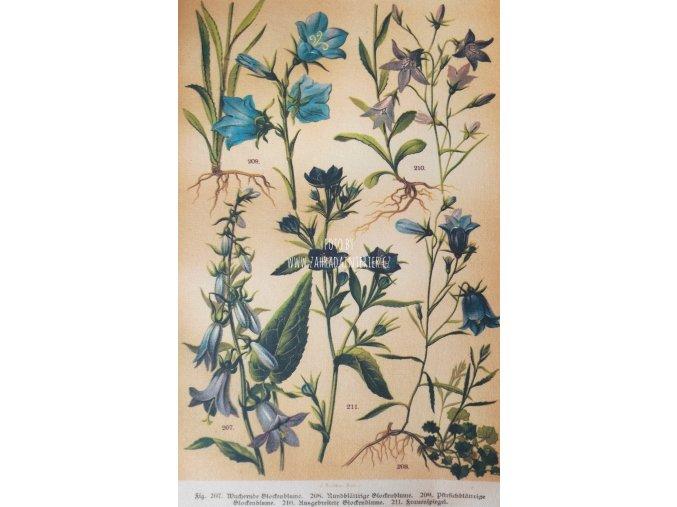Botanický list zvonky