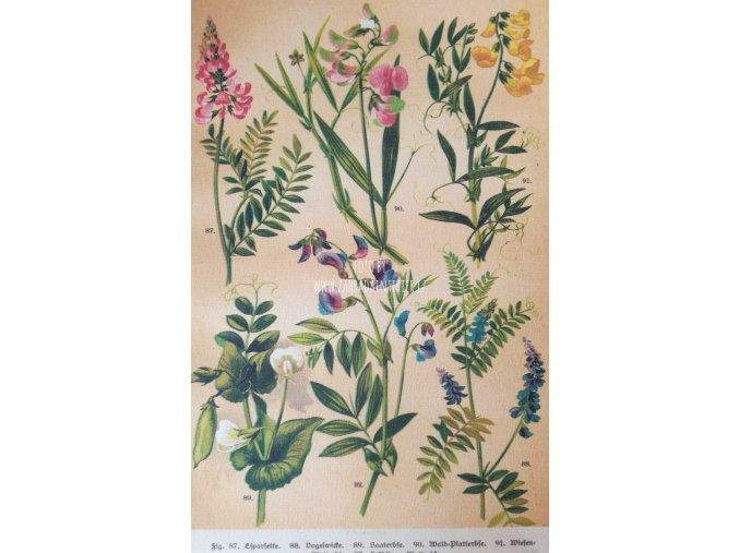 Botanický list popínavky