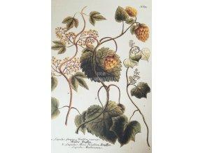 Botanický list chmel II