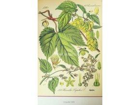 Botanický list chmel III