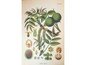 Botanický list ořešák