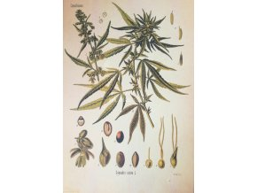 Botanický list cannabis